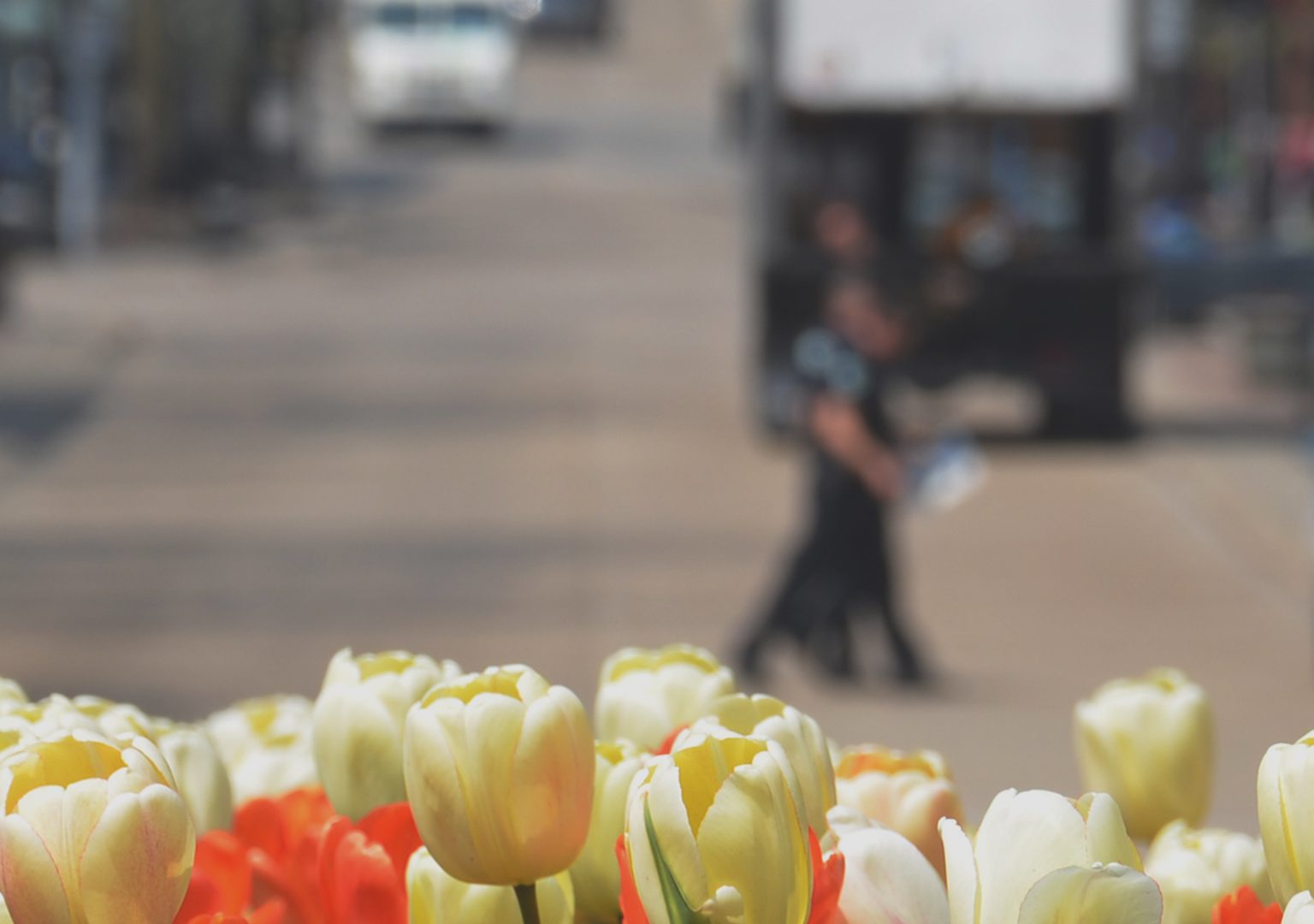 Cluster of tulips in the foreground with a view of State Street in the background